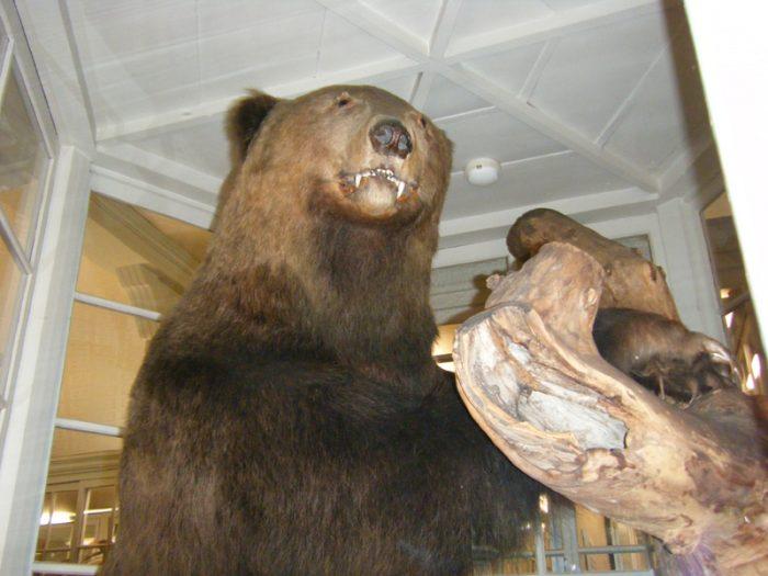 北大植物園博物館ヒグマ